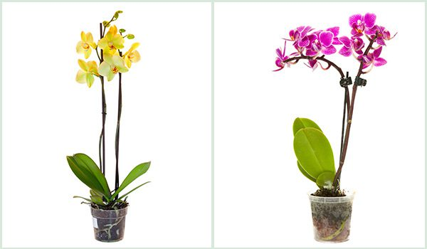 Orchid roots need sunlight in order for the plant to survive and grow. That's why you'll always see orchids in transparent pots.