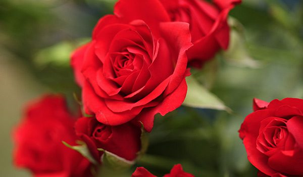 The History of the Rose