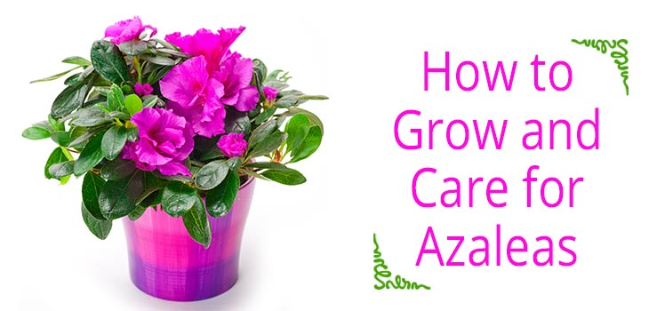 Azalea Plant Care Tips For Home How To