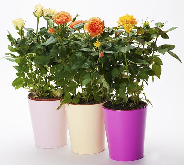 Rose Pots in Different Colors