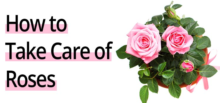 Learn How To Take Care Of Roses Detailed Rose Care Guide