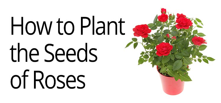 How To Guide To Plant And Harvest Rose Seeds Rose Care Guide