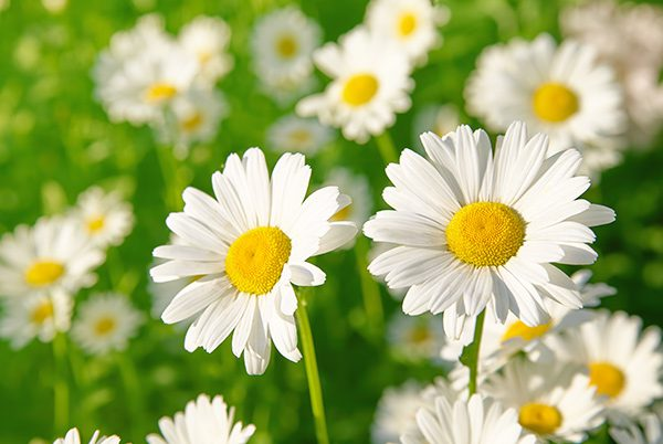 All about Daisy Flowers that You Should Know- LolaFlora Blog