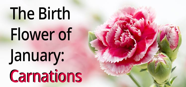 Birth Flower Carnations