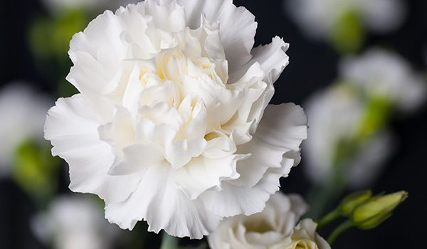 Carnations History