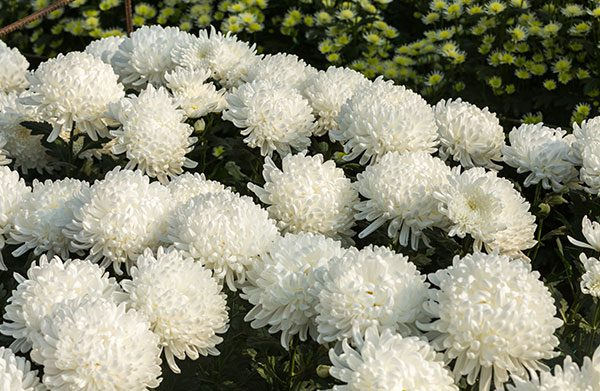 Chrysanthemums How to Care