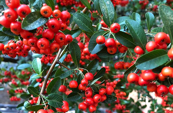 Holly Flower Colors