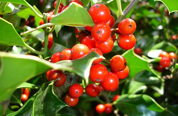 Holly Flower How to Grow
