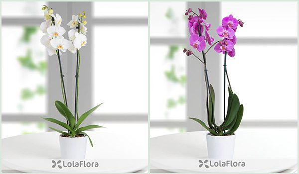 Orchid Christmas