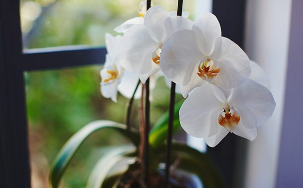 Learn The Best 3 Ways To Make Your Orchids Rebloom Lolaflora