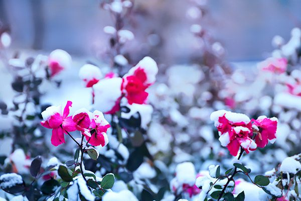 Pink roses during winter