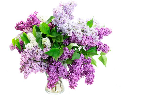 Valentines Day Lilacs Flower