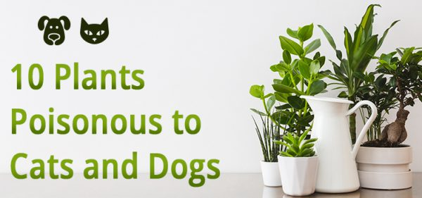 plant poisonous to cats and dogs