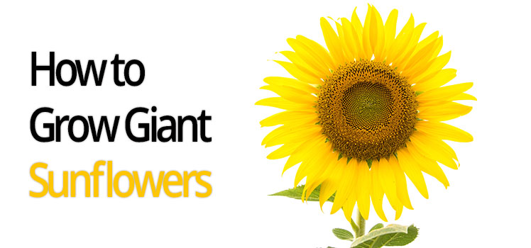 Sunflowers Care Guide Generic